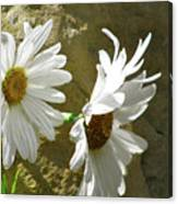 Daisy Rocks Canvas Print