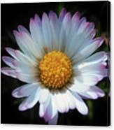 Daisy Under Sun Canvas Print