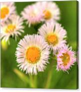 Daisy Weeds Canvas Print