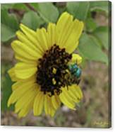 Daisy With Blue Bee Canvas Print