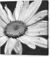 Daisy With Raindrops In Black And White Canvas Print