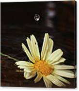 Daisy With Water Droplet Canvas Print