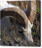 Dall Sheep Ram  Canvas Print