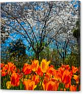 Dallas Arboretum Tulips And Cherries Canvas Print