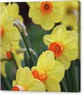Dallas Daffodils 01 Canvas Print