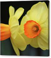 Dallas Daffodils 07 Canvas Print