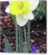Dallas Daffodils 20 Canvas Print