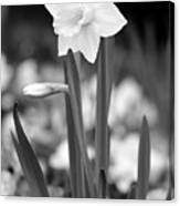 Dallas Daffodils 53 Canvas Print