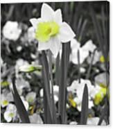 Dallas Daffodils 54 Canvas Print