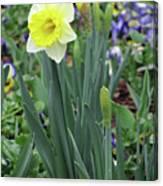 Dallas Daffodils 63 Canvas Print