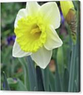 Dallas Daffodils 64 Canvas Print