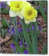 Dallas Daffodils 78 Canvas Print