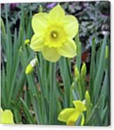 Dallas Daffodils 83 Canvas Print