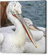 Dalmatian Pelican #3 Canvas Print