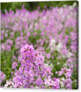 Dame's Rocket Wildflowers And Oak Tree Canvas Print