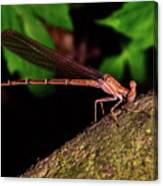 Damselfly 006 Canvas Print