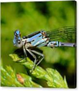 Damselfly Canvas Print