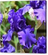 Dancing Blue Irises Canvas Print