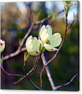 Dancing Dogwood Blooms Canvas Print