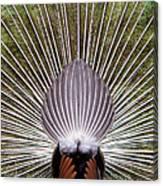 Dancing Peacock, Kanha National Park Canvas Print