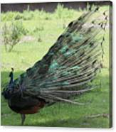 Dancing  Peacock Canvas Print