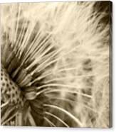 Dandelion 8 Canvas Print