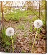 Dandelion Close To The River Canvas Print