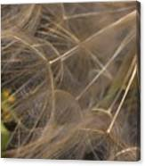 Dandelion Eighty Three Canvas Print