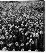 Dandelion Field In Black And White Canvas Print
