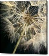 Dandelion Forty One Canvas Print