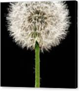 Dandelion Gone To Seed Canvas Print
