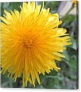 Dandelion In Bloom Canvas Print