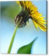 Dandelion Reaching High Canvas Print
