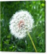 Dandelion Seeds 103 Canvas Print