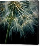 Dandelion Thirty Eight Canvas Print
