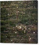 Dandelions From Foot To Far Canvas Print