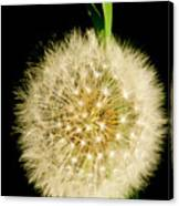 Dandelion's Seed Head. Canvas Print