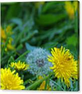 Dandelions, Young And Old Canvas Print