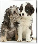 Dandy Dinmont Terrier And Border Collie Canvas Print