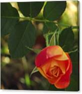 Dangling Rose Canvas Print