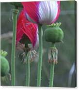 Danish Flag Papaver Somniferum Opium Poppies - Flowers And Pods Canvas Print