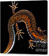 Danube Crested Newt Canvas Print