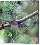 Dark-eyed Junco On A Pine Tree Canvas Print