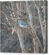 Dark Eyed Junco Perched On Tree Limb Canvas Print