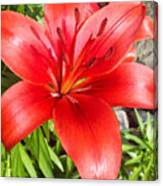 Dark Orange Red Lily Canvas Print