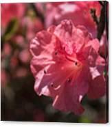 Dark Pink Azalea Canvas Print