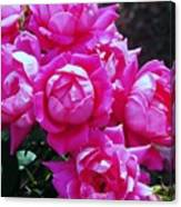 Dark Pink Roses Canvas Print