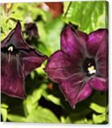 Dark Purple Petunia Canvas Print