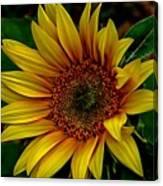 Dark Sunflower Canvas Print