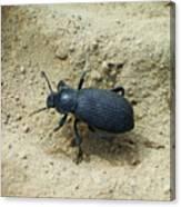Darkling Beetle In Sand Canvas Print